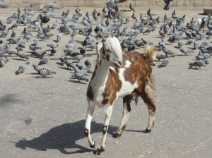 A cat among the pigeons? No, a goat!