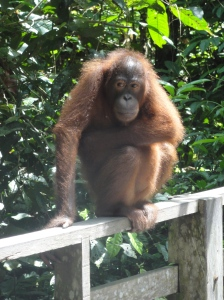 How can you not love orang-utans?