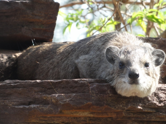 A lazy hyrax in the Serengeti National Park, Tanzania