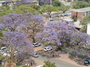 Jacarandas in Harare
