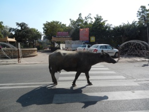 Cows are free to roam where they choose in India
